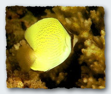 A butterfly fish nibbles on the polyps of a coral. © http://www.thread-of-awareness-in-chaos.com/order.html