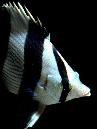 Butterfly fish, like other daytime coral reef fish, must sleep at night because they can't see in the dark very well. Fish that can see in the dark take over the reef after sunset. © http://www.thread-of-awareness-in-chaos.com/order.html