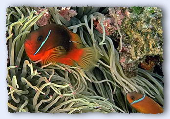 Mutualism. Two clown fish, male and female, nestle in the stinging tentacles of their sea anemonie. It is a very personal relationship, with each fish and sea anemonie bound for life. Incidently, there will often be more than one female. The male is always the larger fish. If the male dies, the largest female turns into a male. v