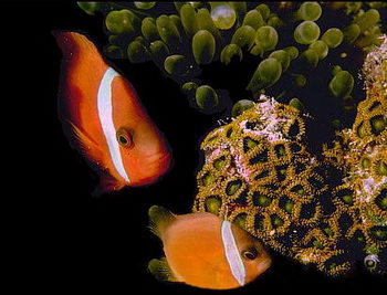 Clownfish establish a communication system between themselves and between their anemonie. They identify themselves to the anemonie by special chemicals in the mucus covering their scales. © http://www.thread-of-awareness-in-chaos.com/order.html