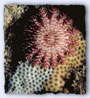 A small crown of thorns starfish, barely 40-mm in diameter, leaves a wake of white, cleaned coral behind it.© http://www.thread-of-awareness-in-chaos.com/order.html