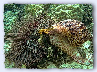 The tritons attack the spiny starfish with unquestioned enthusiasm. © http://www.thread-of-awareness-in-chaos.com/order.html