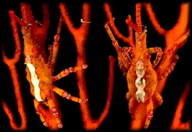 This tiny spider crab has learned to color its body to match, exactly, the sea fan it lives on. It has also learned to snip off the tip of a branch of the sea fan and hold it in his jaws to help the illusion. © http://www.thread-of-awareness-in-chaos.com/order.html