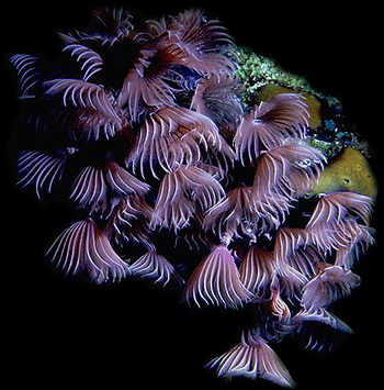 A group of sabellid worms filtering the sea with plumes atop their heads.