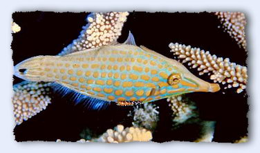 This charming little fish, Oxymonacanthus longirostris has a tiny little mouth, specially adapted for biting off coral polyps. © http://www.thread-of-awareness-in-chaos.com/order.html