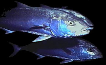Schooling fish, like these amberjacks, move together in smooth harmony. © http://www.thread-of-awareness-in-chaos.com/order.html