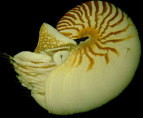 A Chambered Nautilus, Click to join the Moira as we capture Nautilus in Palau