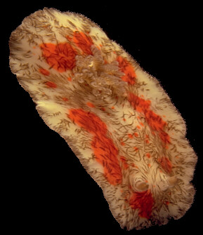 When the nudibranch comes adrift of the coral, it glides, seeking bottom again, lost in a sensory vacuum. © http://www.thread-of-awareness-in-chaos.com/order.html
