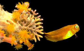 A small goby hovers off a projection from a coral cave wall. Golden Tubeastrea and orange fire coral filter the sea.