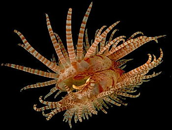 A flame scallop, swimming by clapping its valves together, jetting water out of its siphons.