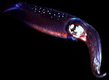 A squid hovers in the night sea, its luminescent organs glowing. © http://www.thread-of-awareness-in-chaos.com/order.html