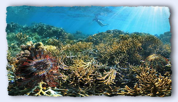 When two crown of thorns starfish join arms to feed, they can eat 30% more coral than they can by themselves. © http://www.thread-of-awareness-in-chaos.com/order.html